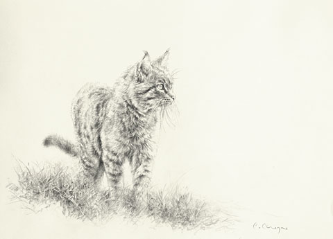 Indian Desert Cat © C CHEYNE 2010