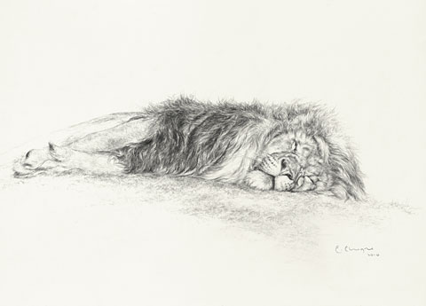 © C CHEYNE 2010 Sleeping Lion