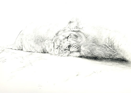 © C CHEYNE Sleeping Lion Cub Sketch