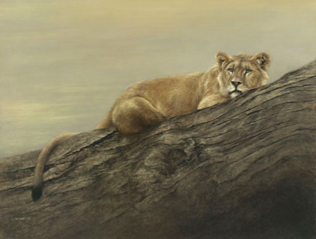 © C CHEYNE 2008 'Citadel' - Young Male Lion